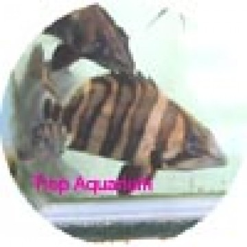 Borneo tiger fish