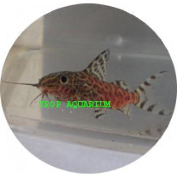 Syn eupterus-upside down catfish