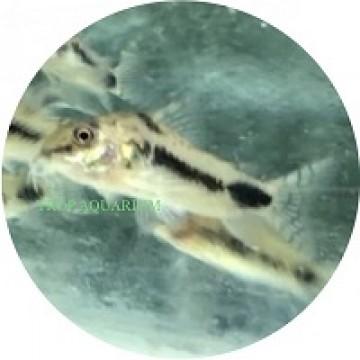 Habrosus corydoras