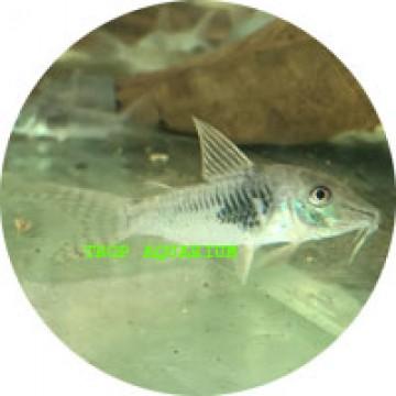 Septentrionalis corydoras