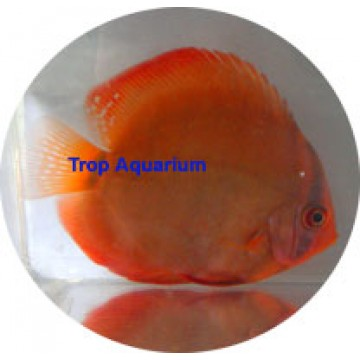 Alenquer red discus