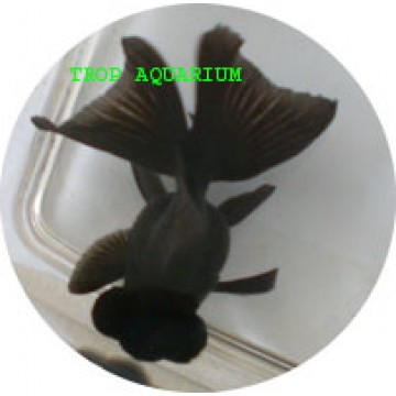 Black butterfly goldfish