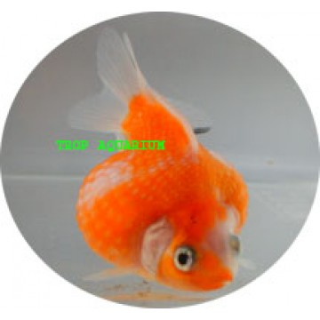 Pearl-scale red white goldfish