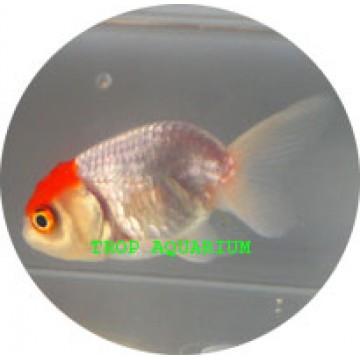 Ranchu red cap goldfish