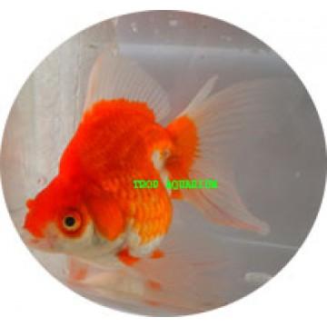 Ryukin red/white goldfish