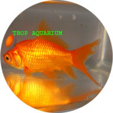 Shubunkin red goldfish