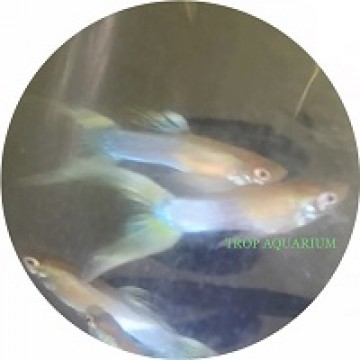 Japan blue golden double sword guppy
