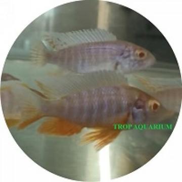 Sciaenochromis Ahli Golden (Albino Blue Ahli)