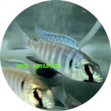 Cichlids