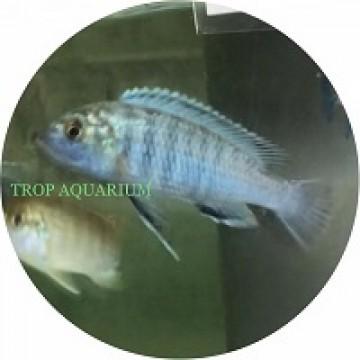 Labidochromis Exasperatus