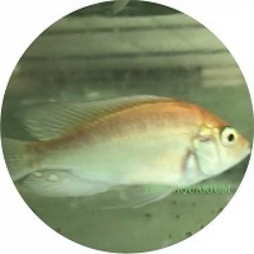 Haplochromis sp. Flameback Albino