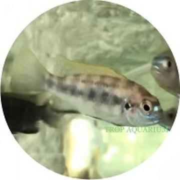 Gephyrochromis Lawsi (Lawsi Cichlid)