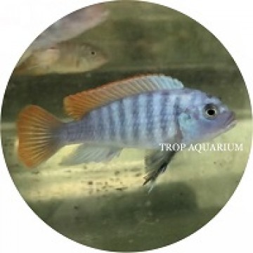 Metriaclima Greshakei - Ice Blue