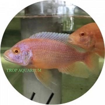 Aulonocara Firefish Albino Red - Red Eye
