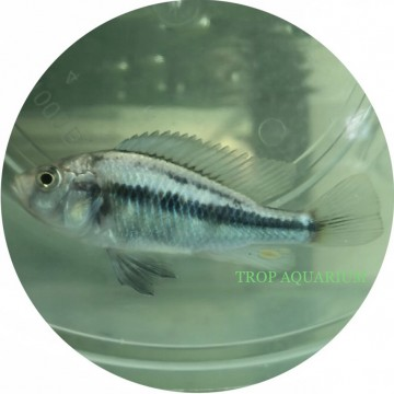 Haplochromis sp. Paropius