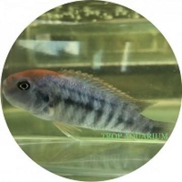 Pseudotropheus sp. Perspicax Ndumbi Red Top