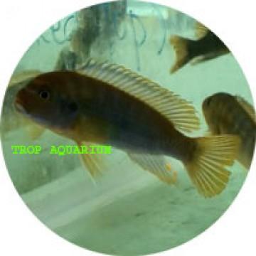Rusty Cichlid (Iodotropheus sprengerae)