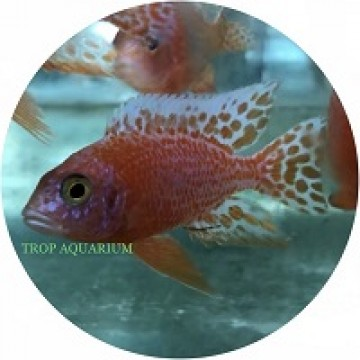 Aulonocara Dragon Blood (Firefish)