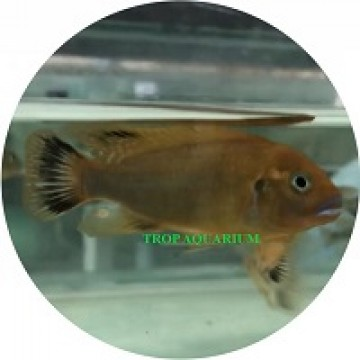 Pseudotropheus sp. Williamsi North Blue Lips