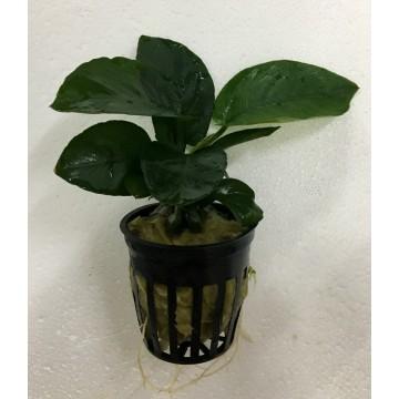 Anubias barteri var. barteri 'Broad leaf' -Small pot