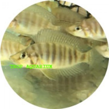 Altolamprologus compressiceps gold head muzi