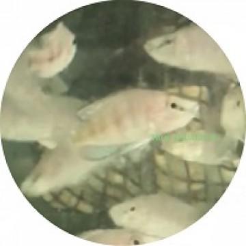 Altolamprologus compressiceps sumbu shell