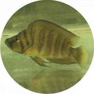 Altolamprologus compressiceps gold
