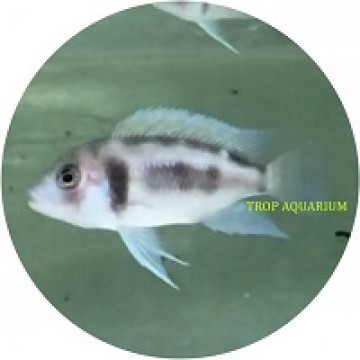 Cyphatilapia frontosa black widow