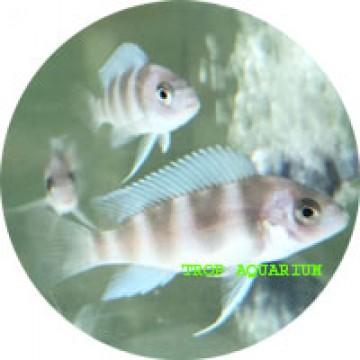 Cyphatilapia frontosa mpimbwe