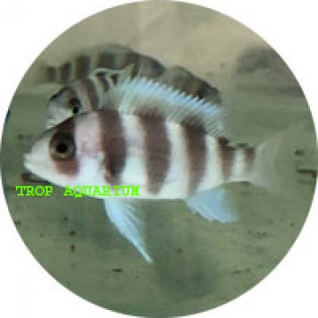 Cyphatilapia frontosa red