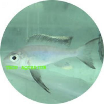 Cyathopharynx furcifer