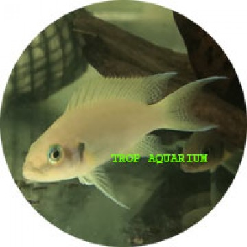 Neolamprologus pulchers