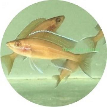 Paracyprichromis nigripinnis albino