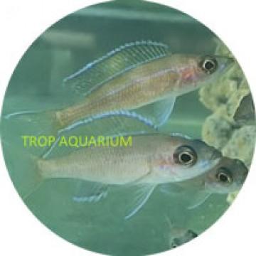 Paracyprichromis nigripinnis (Blue Neon)