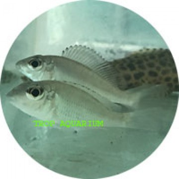 Callochromis macrops red Ndole
