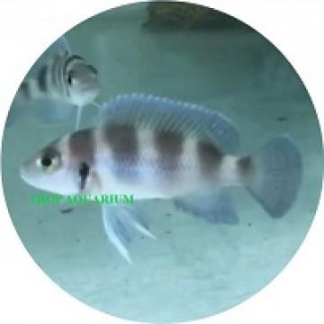 Neolamprologus Tretocephalus (Five Bar Cichlid)