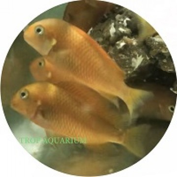 Tropheus moorii-golden firecracker