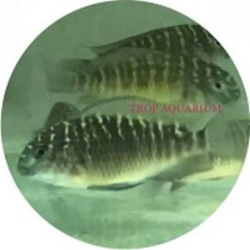 Tropheus moorii-kasanga