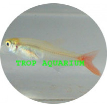 Bloodfin glass tetra