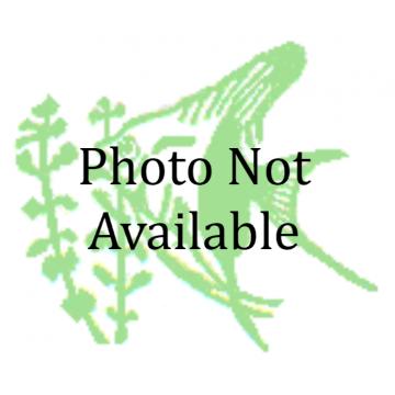 Barbatus Corydoras